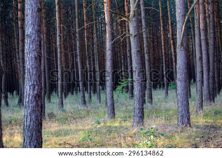 Pine forest with vintage mood effect. Close up of pine trees in summer. - stock photo