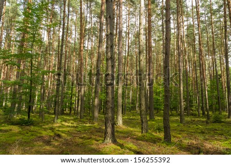 Pine Forrest - stock photo