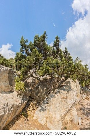 Pine grows on the rocks
