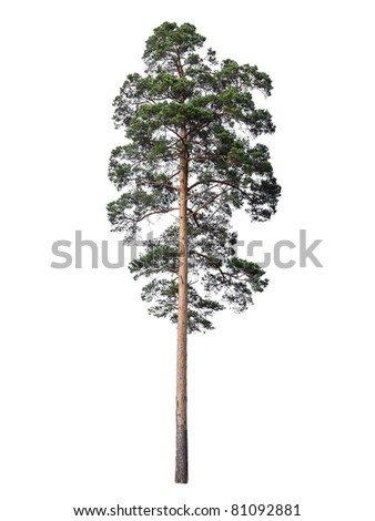 Pine isolated on white - stock photo