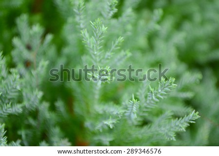 pine leave background - stock photo