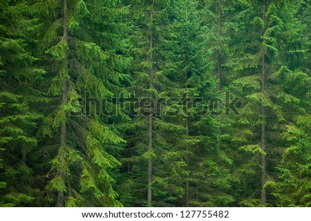 Pine lush green trees - stock photo