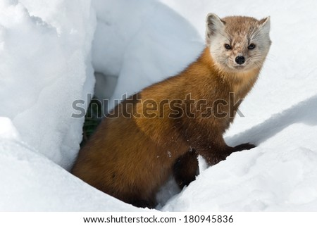 Pine Marten exiting its den looking at the camera. - stock photo