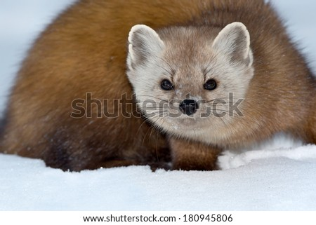 Pine Marten in the snow looking intently at the camera. - stock photo