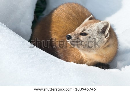 Pine Marten in the snow looking to the left. - stock photo