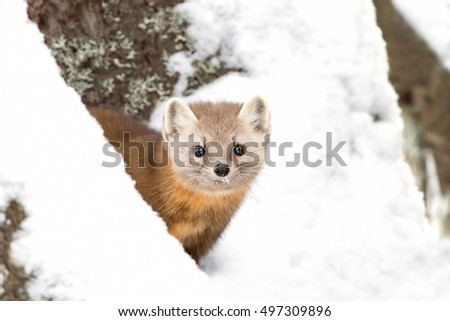 Pine marten (Martes americana) peeks out from behind a tree in winter in Algonquin Park