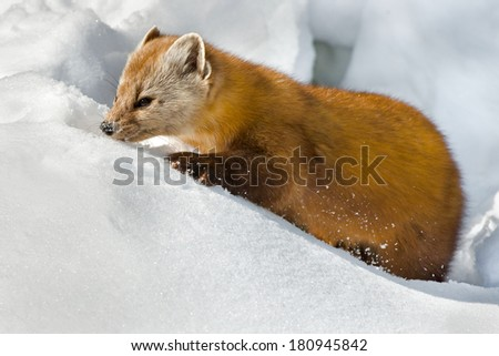 Pine Marten sniffing the snow searching for food. - stock photo