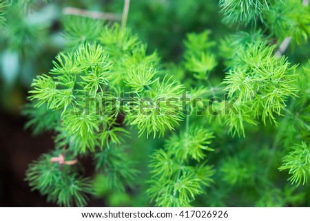 Pine plant green botany close up