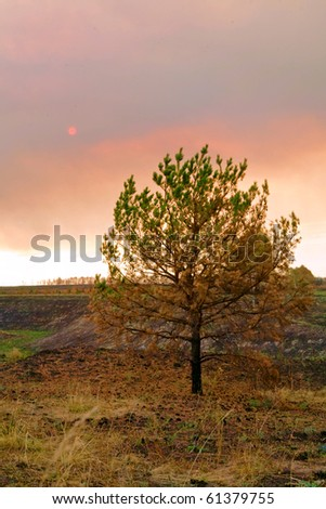 pine remains - stock photo