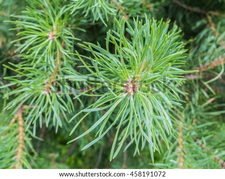 Pine resin on needles. Fir branch with drops of tree resin macro shot. Details of the nature spruce forests. Pine resin on the needles. - stock photo