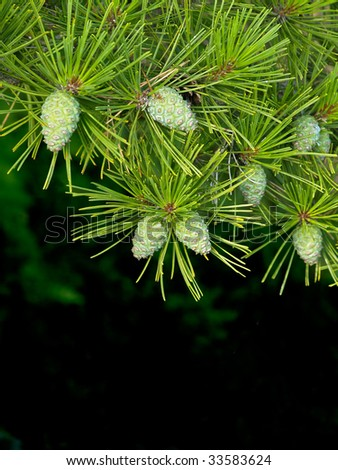pine's natural background - stock photo