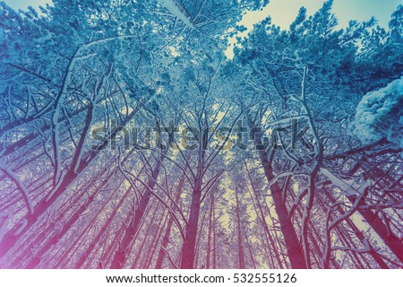 Pine snowy forest in winter. Gradient color