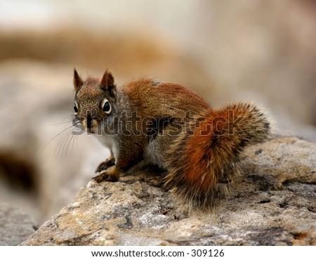 Pine squirrel at Andrew Hayden Park in Canada - stock photo