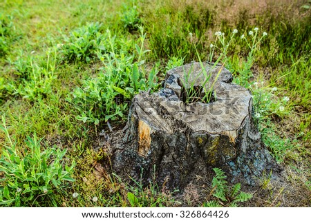 Pine stump in a forest glade summer. - stock photo