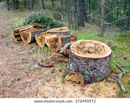 Pine stumps on the edge of the forest - stock photo