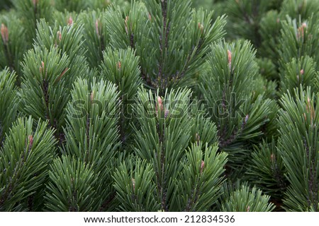 pine tree - stock photo