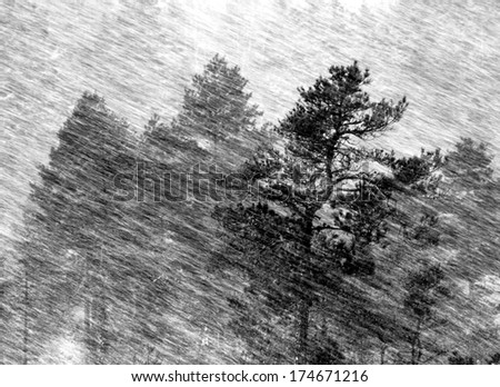 Pine tree and blizzard. - stock photo