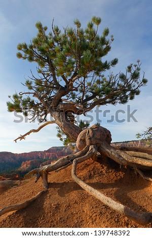pine tree at Bryce canyon national park - stock photo