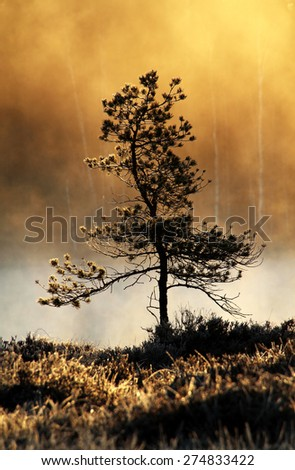 Pine tree at the bank of small pond in wilderness at Tammela, Southern Finland. Early May morning few moments after sunrise. - stock photo