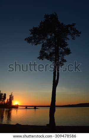 Pine tree at the sunset