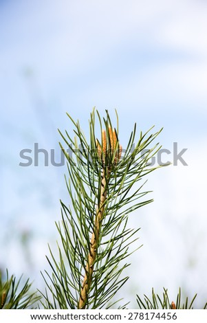 pine tree blossoms in spring on blur background - stock photo