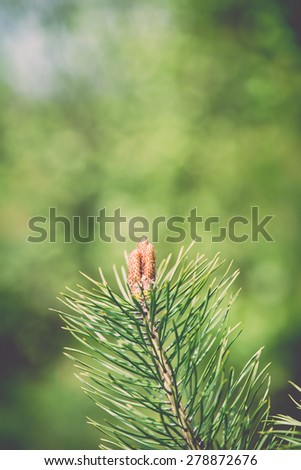 pine tree blossoms in spring on blur background - retro vintage effect - stock photo