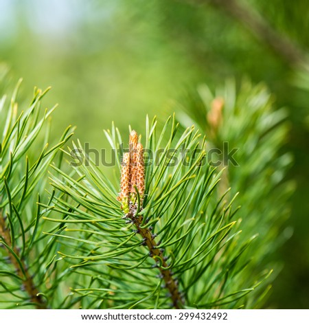 pine tree blossoms in spring on blur background. square image. - stock photo