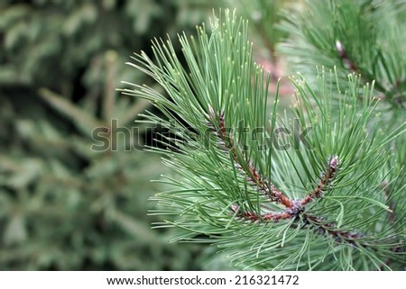 Pine Tree Branch and blurred forest in background - stock photo