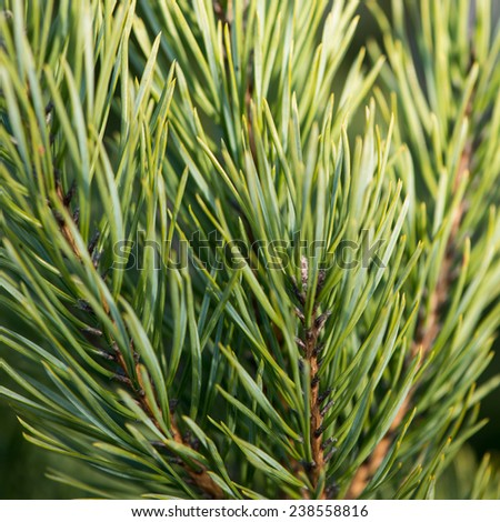pine tree branch closeup with blur background - stock photo
