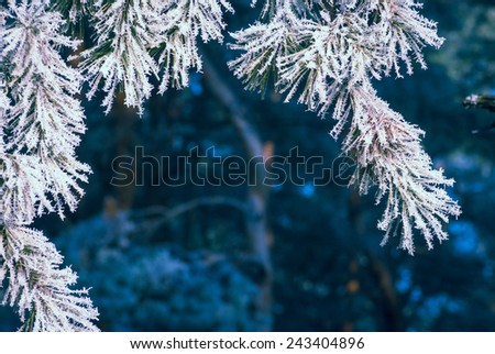 Pine tree branch covered with hoar frost. Nature winter background - stock photo