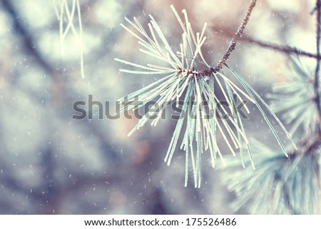 pine tree branch in winter - stock photo