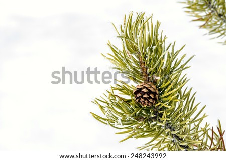 Pine tree branch in winter with a cone