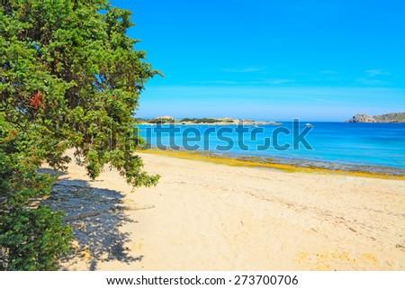 pine tree by the shore in Capo Testa, Sardinia - stock photo
