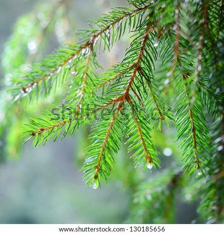 pine tree close-up - stock photo