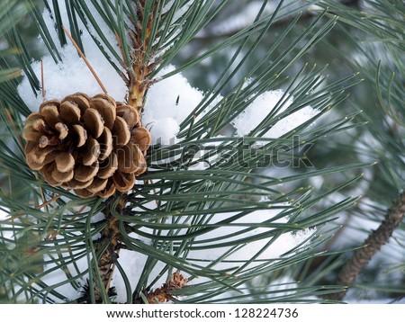 Pine tree cone - stock photo