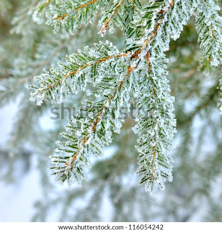 Pine tree covered with frost close-up - stock photo