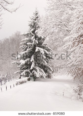 Pine tree covered with snow in Croatia