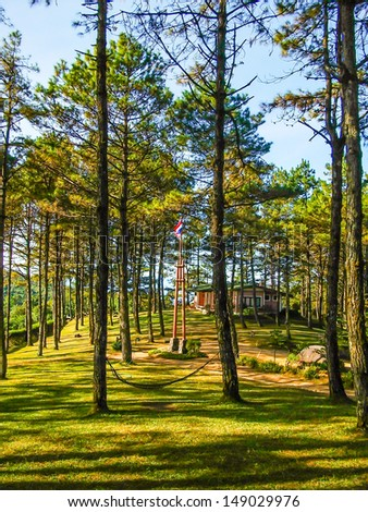 pine tree forest in northern, thailand