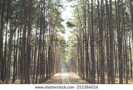 Pine tree forest, north of thailand - stock photo