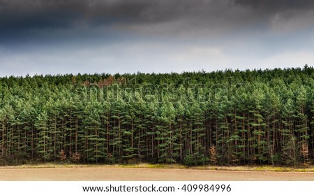 Pine Tree Forrest - stock photo