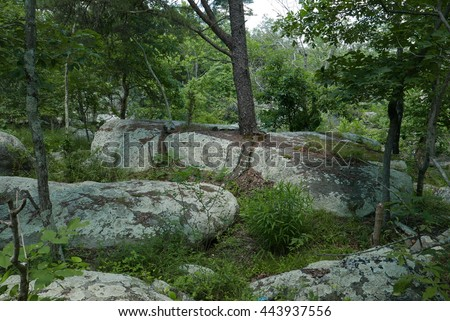 Pine tree growing in a crevice in bedrock near the Great Falls of the Potomac River in Maryland. - stock photo