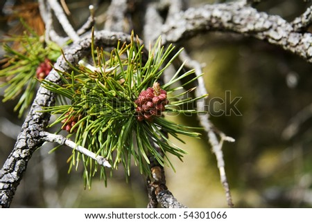 Pine tree in bloom - stock photo