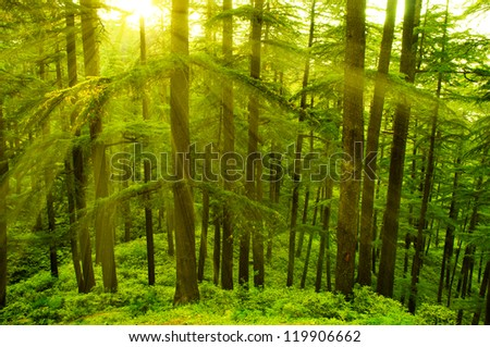 Pine tree in golden sunlight at Shimla during sunset, the capital city of Himachal Pradesh, India. - stock photo