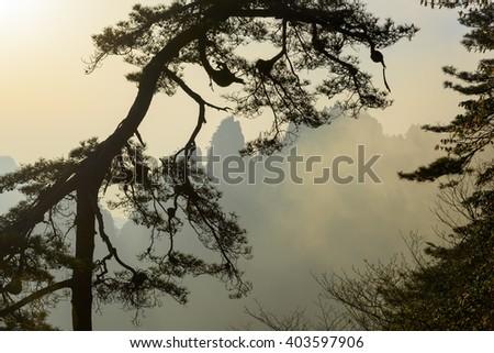 Pine tree in Huangshan mountains. Sunrise. China. - stock photo