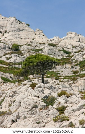 Pine tree in the calanques of Marseille, french riviera, France.
