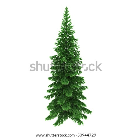 Pine tree isolated on white background - stock photo