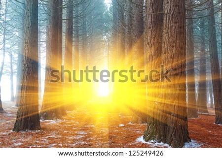 pine tree misty forest in a rays of sun - stock photo