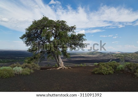 Pine tree on top of volcanic rock, Inferno Cone, Craters of the Moon National Monument and Preserve, Arco, Idaho, United States
