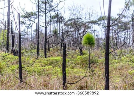 Pine tree rebirth after burned in forest. - stock photo