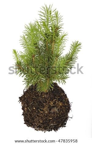 pine tree seedling isolated on white background - stock photo